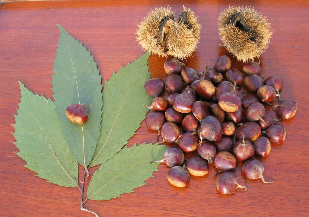 Leaves, burrs and nuts of American chestnut