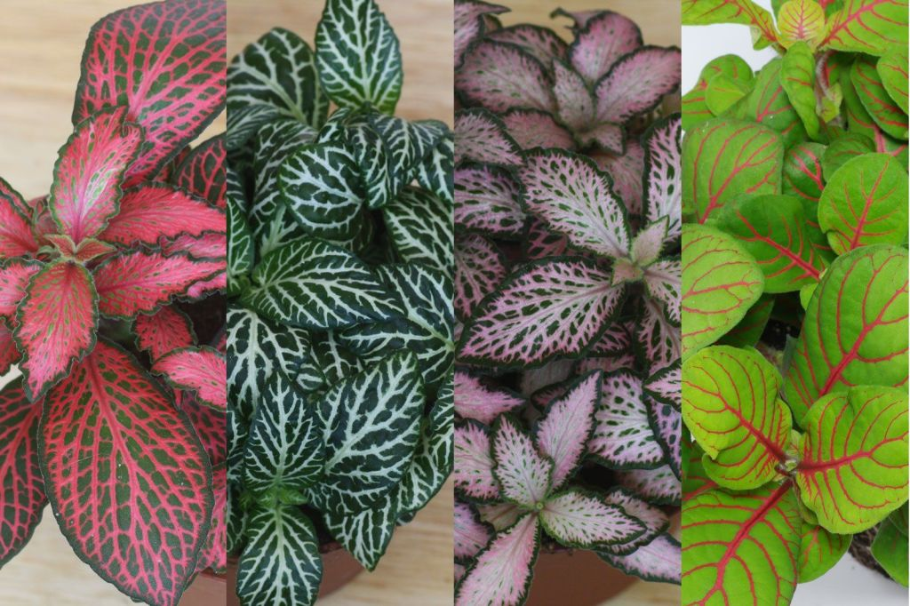 Mix of different fittonia colors