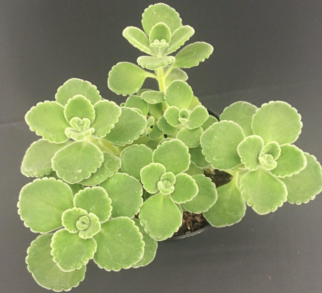 Vicks plant (Plectranthus  tomentosa)