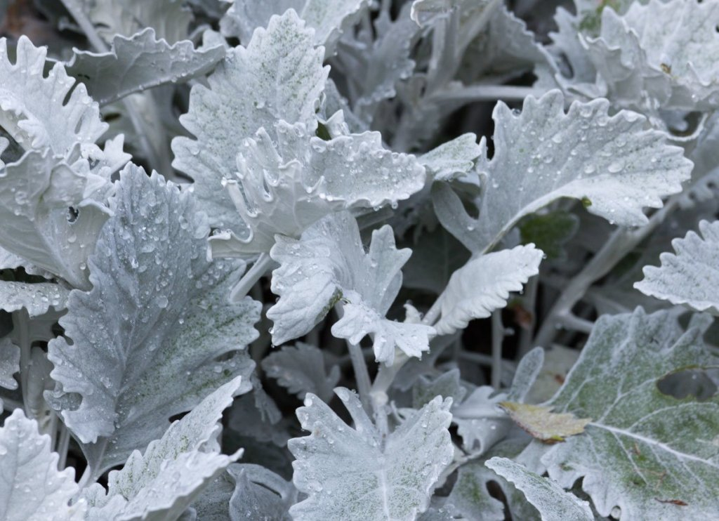 Dusty miller ( Jacobaea maritima)