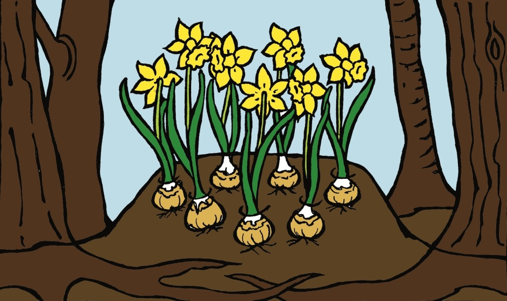 Narcissus growing in a mound