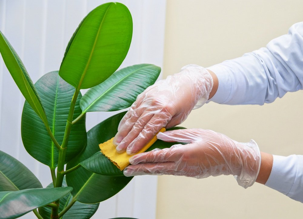 Gloved hand wiping leaf.