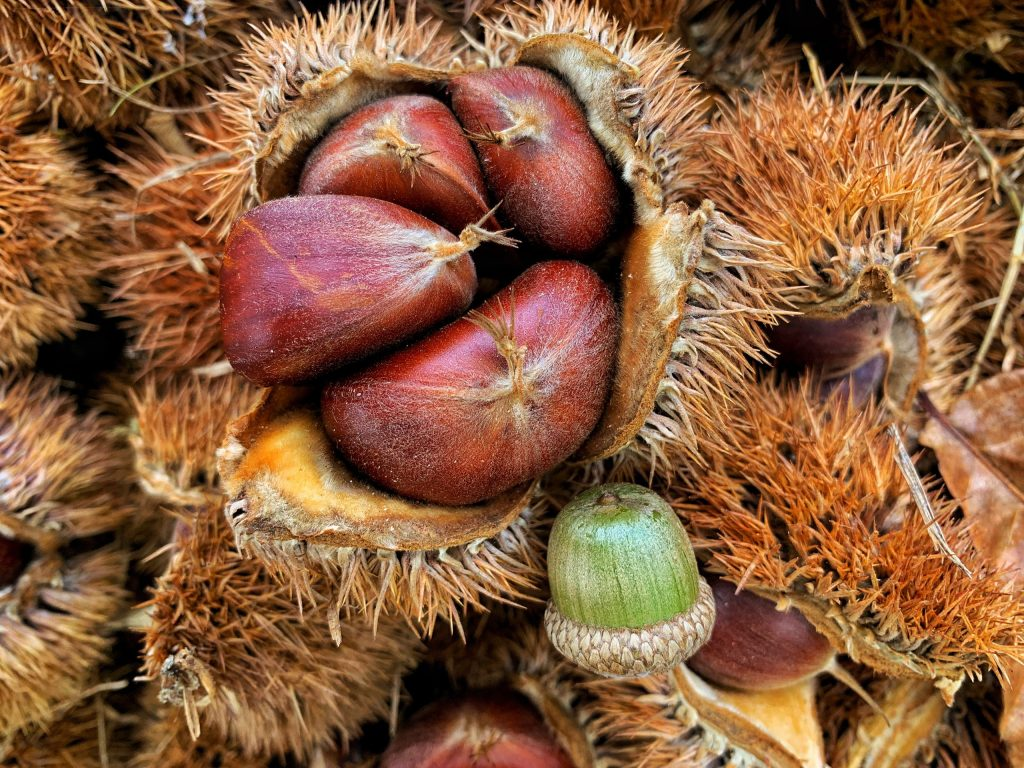 Hybrid chestnut burrs and nuts