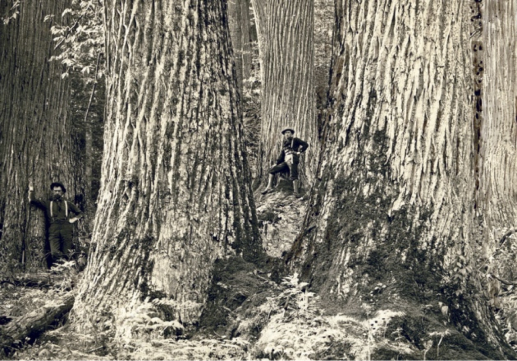 Old photo showing the huge size of American chestnuts