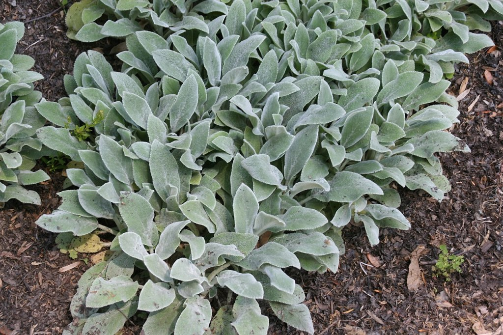 Lamb's ear with silvery leaves.