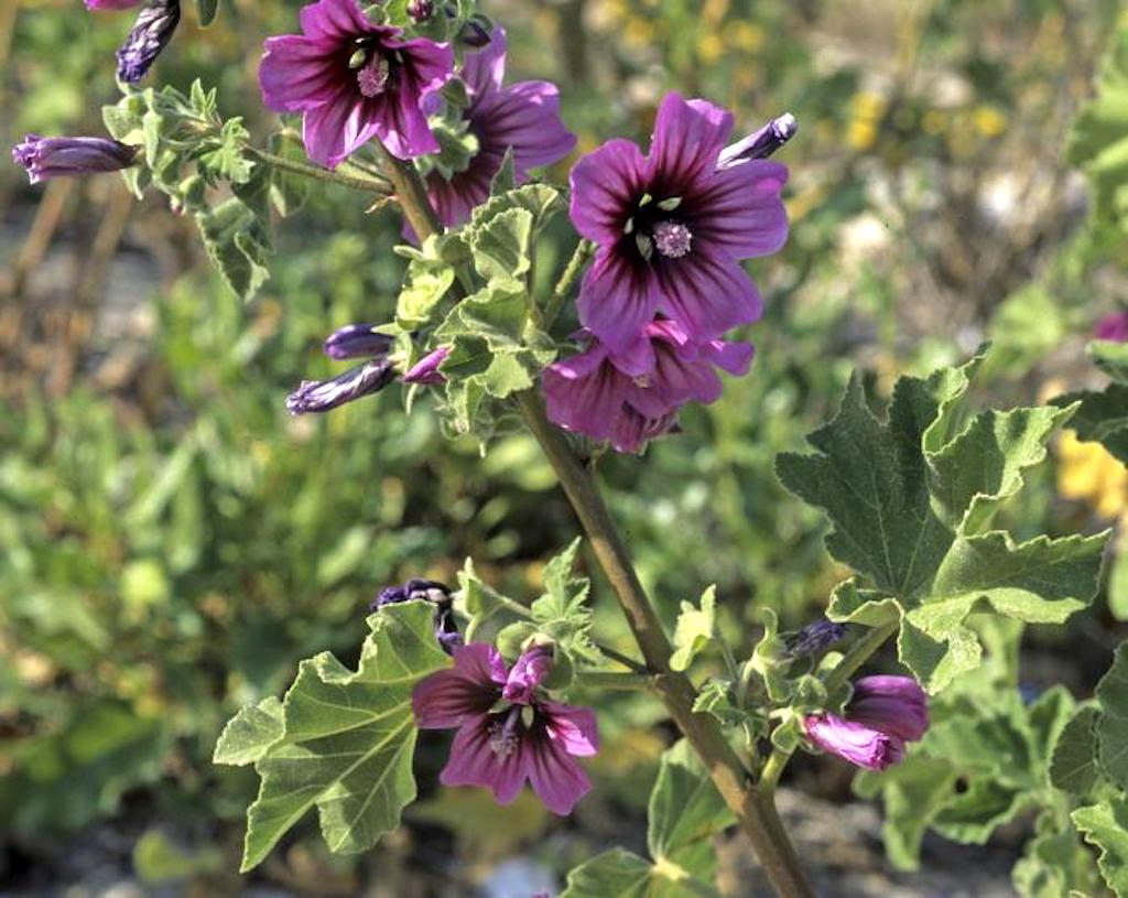 Tree mallow with pink and purple flowers