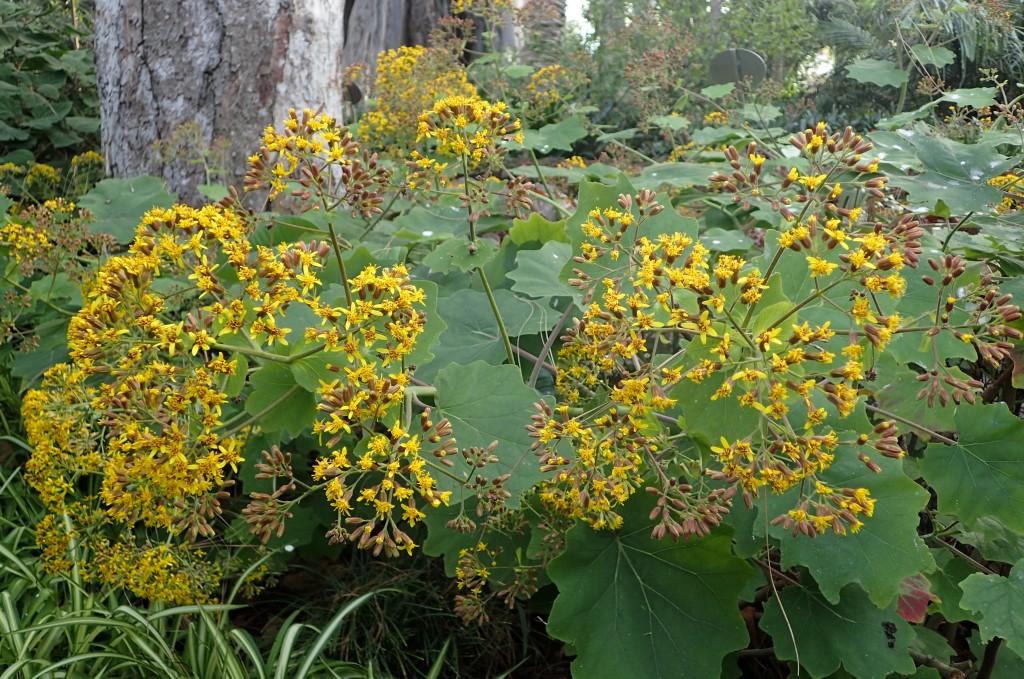 Shrub of Velvet Groundsel with yellow flowers