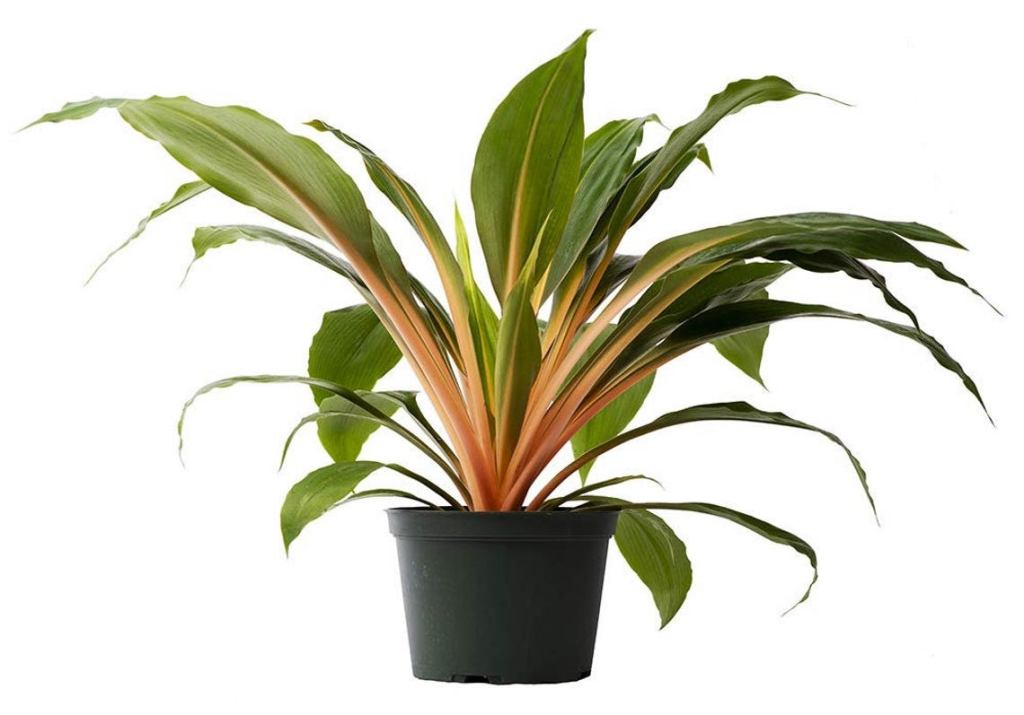 Orange spider plant in a pot.