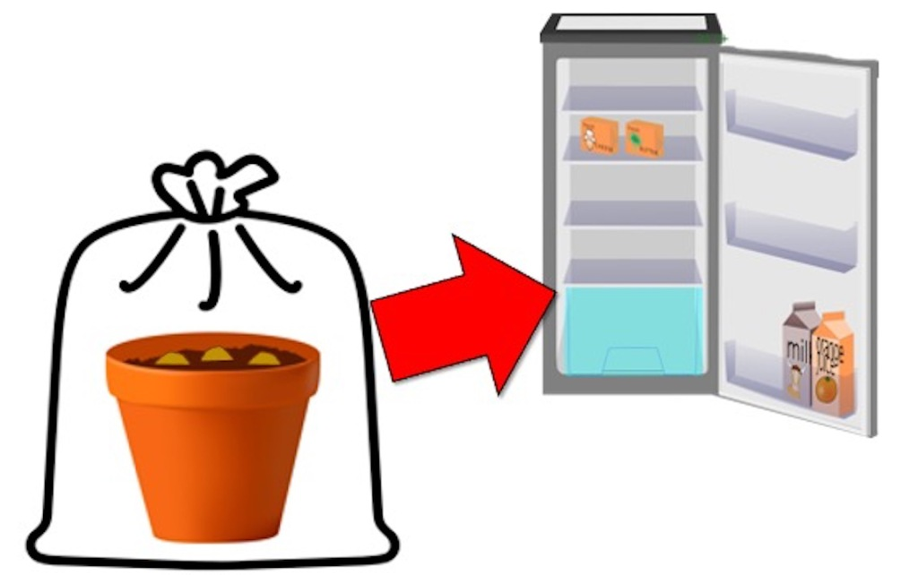 Pot of planted bulbs inside bag, arrow shows to put into fridge.