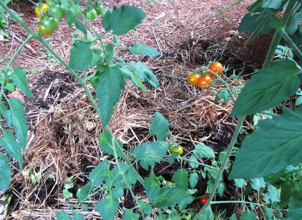 Self-seeded tomato plant
