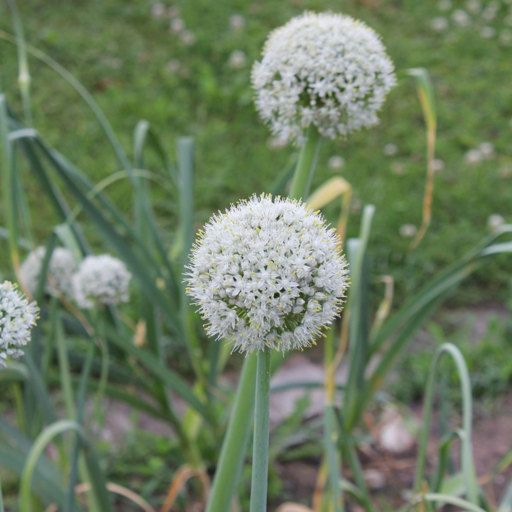 White ball of onion flowers