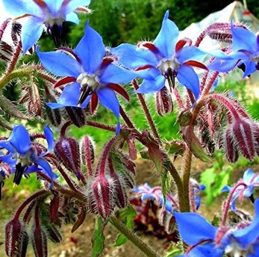 Blue-flowered borage