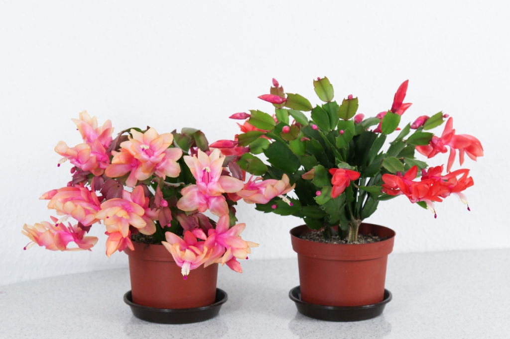 Two christmas cactus, one pink, one red
