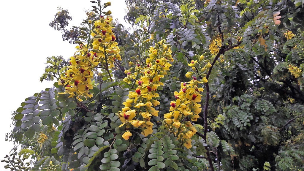 Brazil wood tree with yellow flowers.