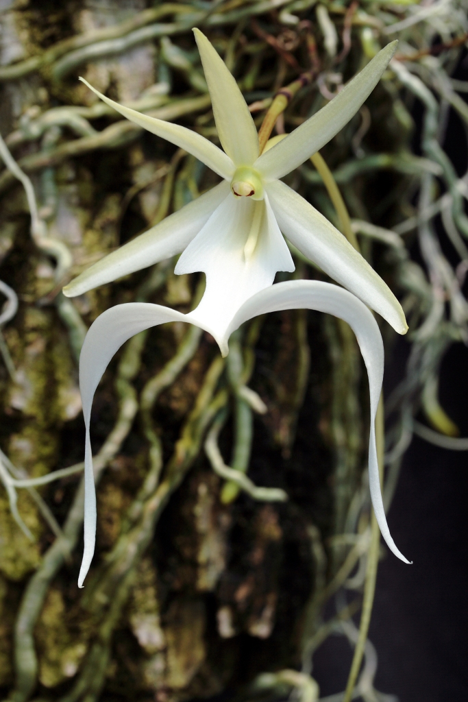 Ghost orchid in flower
