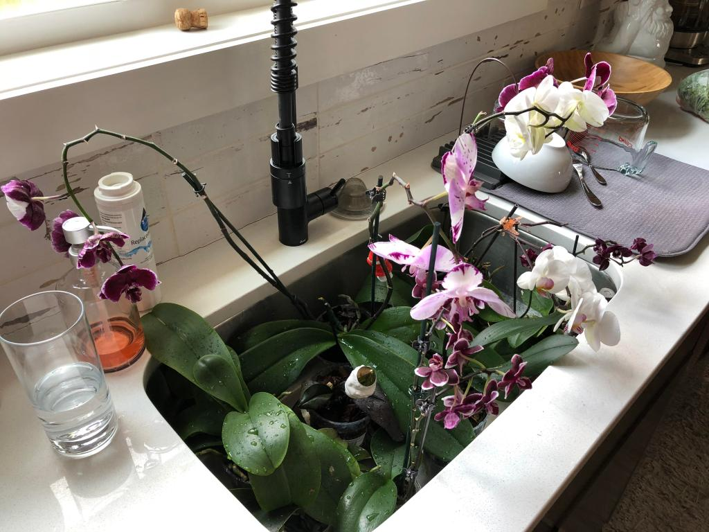 Orchids in a sink