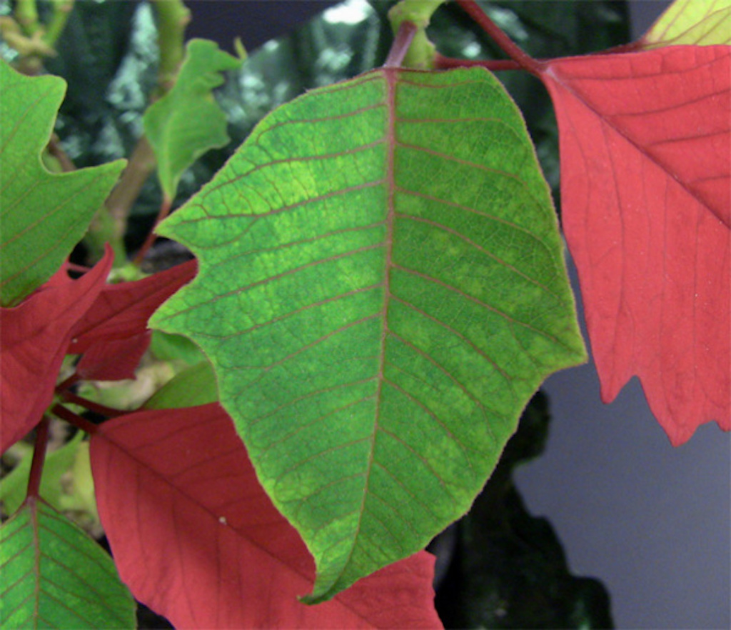 Poinsettia leaf with yellow mottling due to mosaic virus.