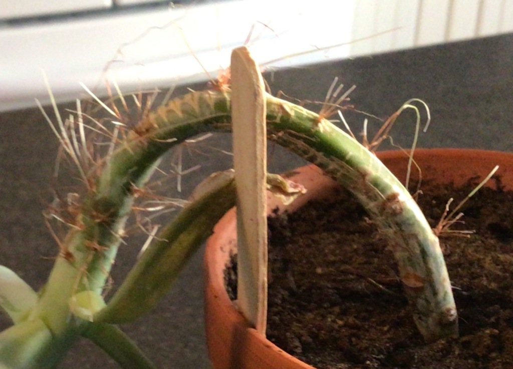 Aerial roots on an Echeveria stem.