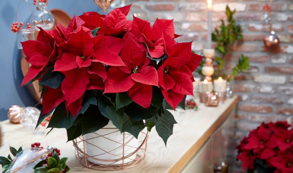 Red poinsettia on counter.