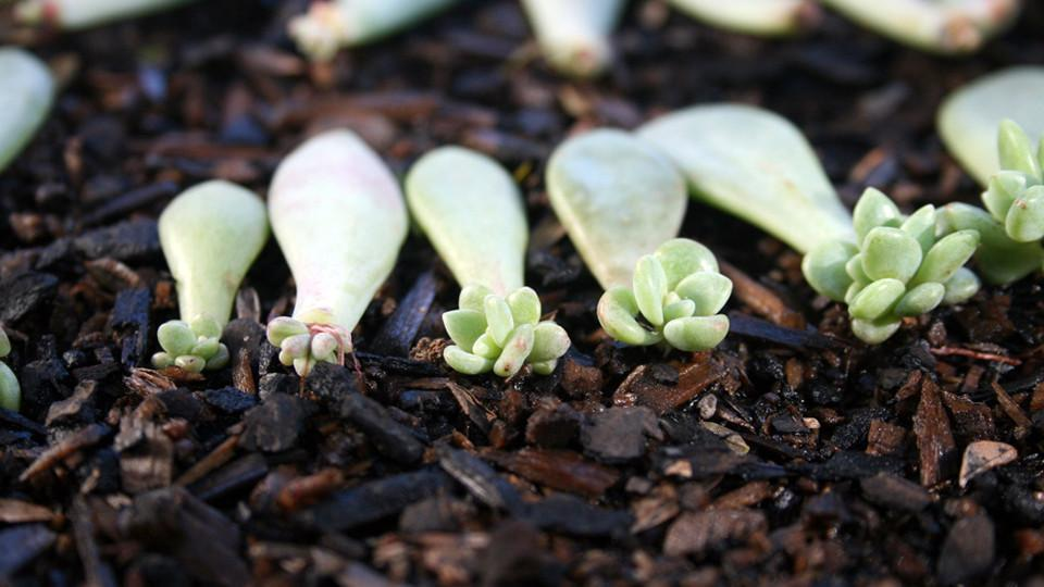 Echeveria leaves rooting
