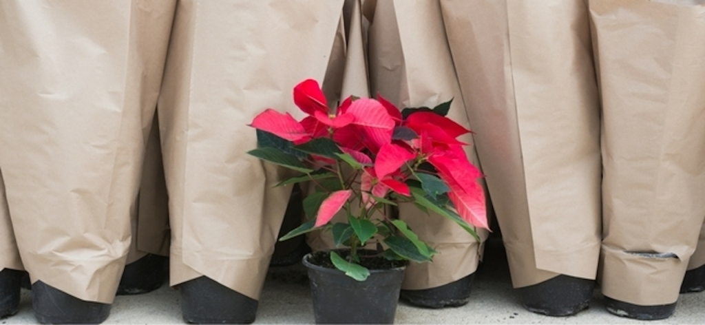 Red poinsettia with other pots wrapped in paper sleeves for cold protection.