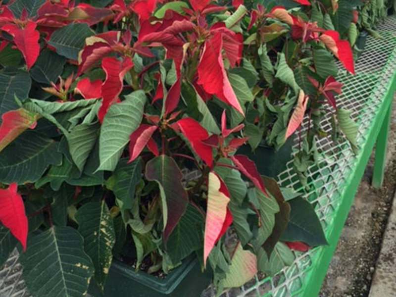 Wilted poinsettia with soggy soil.