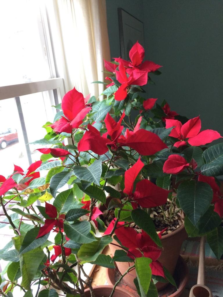 Red poinsettia near a window.