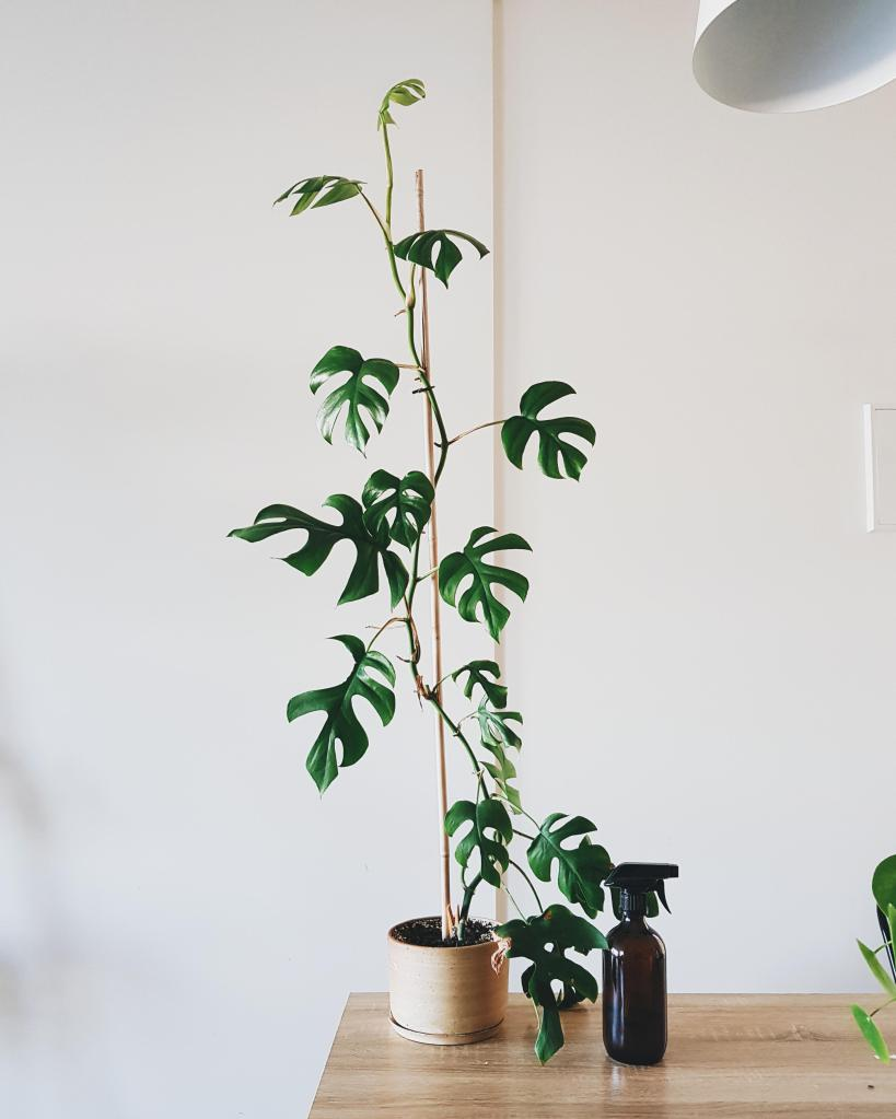 Rhapidophora growing up a stake towards the ceiling.
