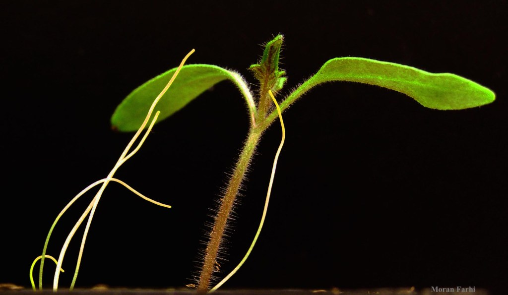 Dodder seedlings reaching for a young tomato plant.