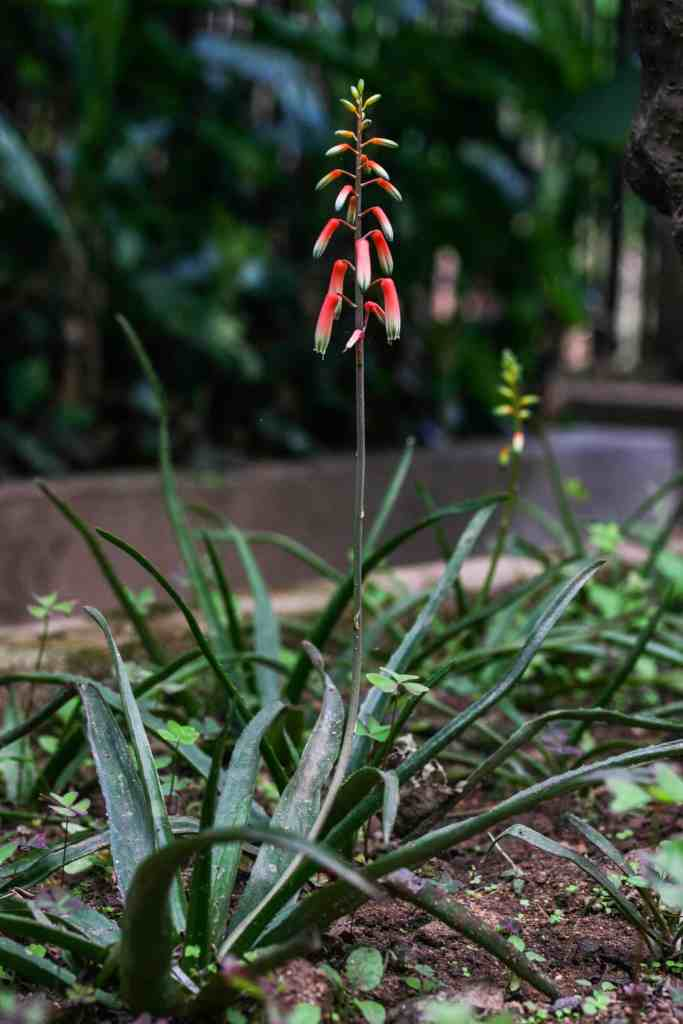 Aloe rakotonasoloi