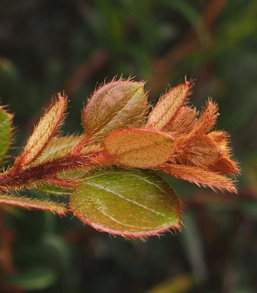 Diplycosia puradyatmikai, hairy orangey new growth
