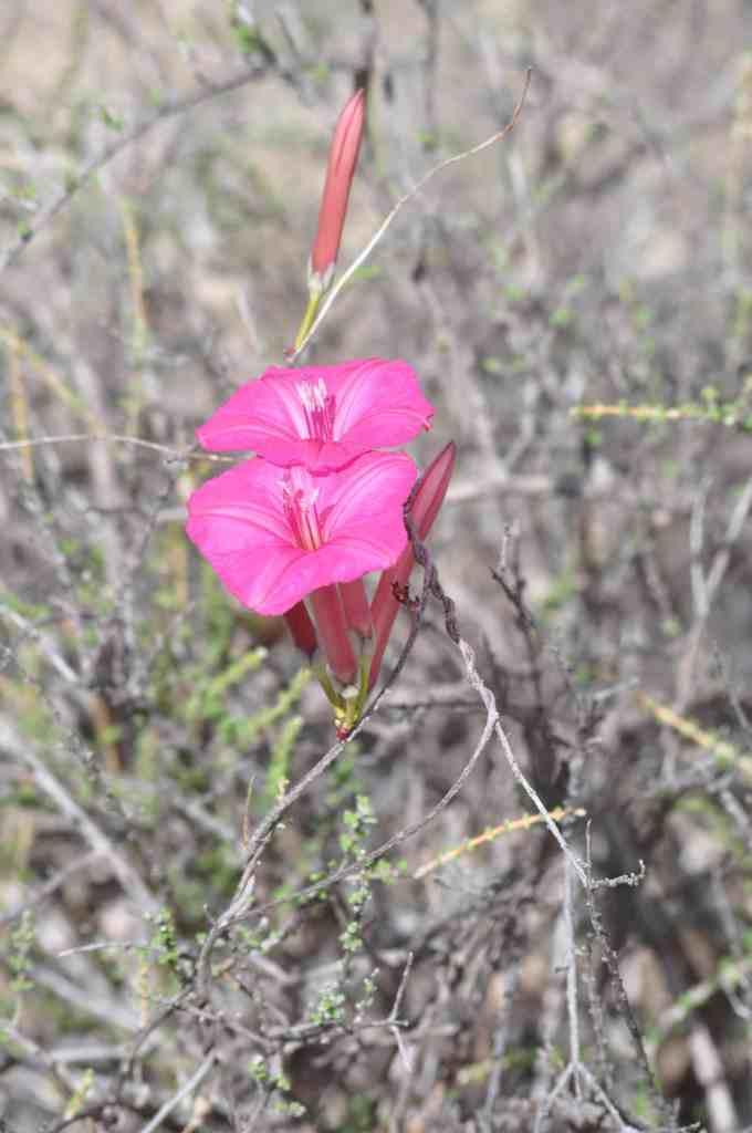 Yura (Ipomoea noemana) with pink flowers