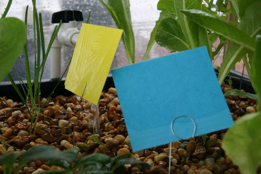 Yellow and blue sticky traps.