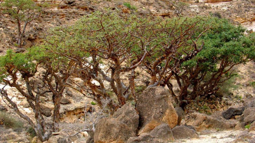 Frankincense scrub forest