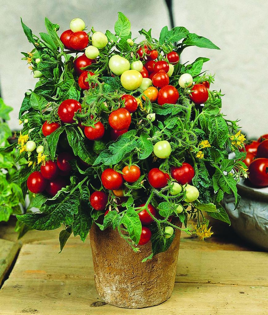'Micro Tom' mini-tomato plant in a pot
