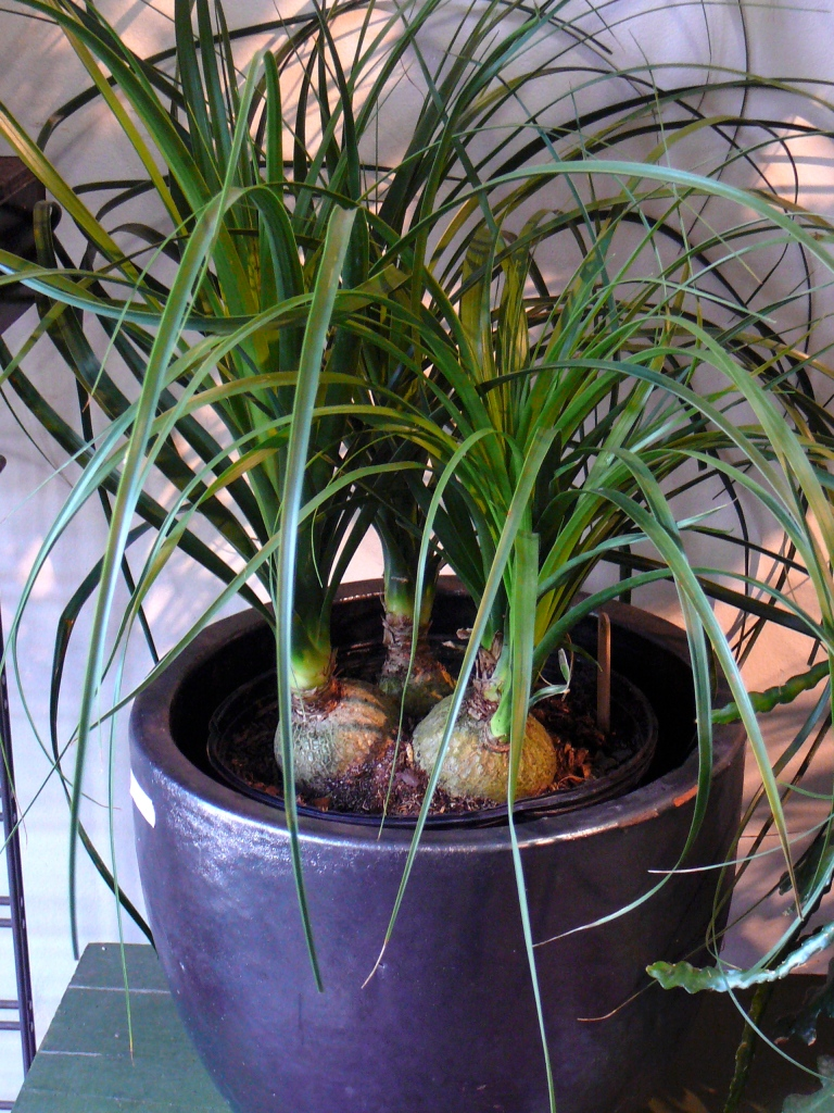 Four small beaucarneas with a bulbous base planted in a single pot.