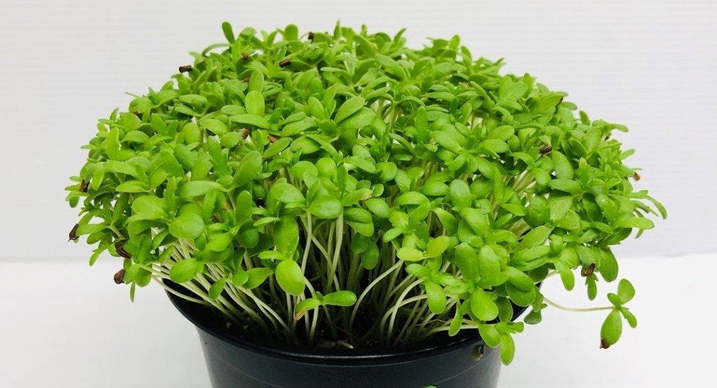 Pot of garland chrysanthemum micro greens. Tiny leaves, dense growth, black pot.