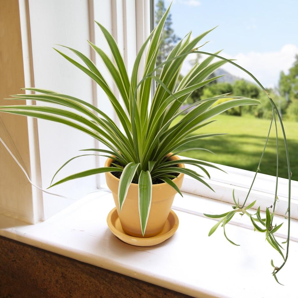 Spider plant on windowsill, a few babies