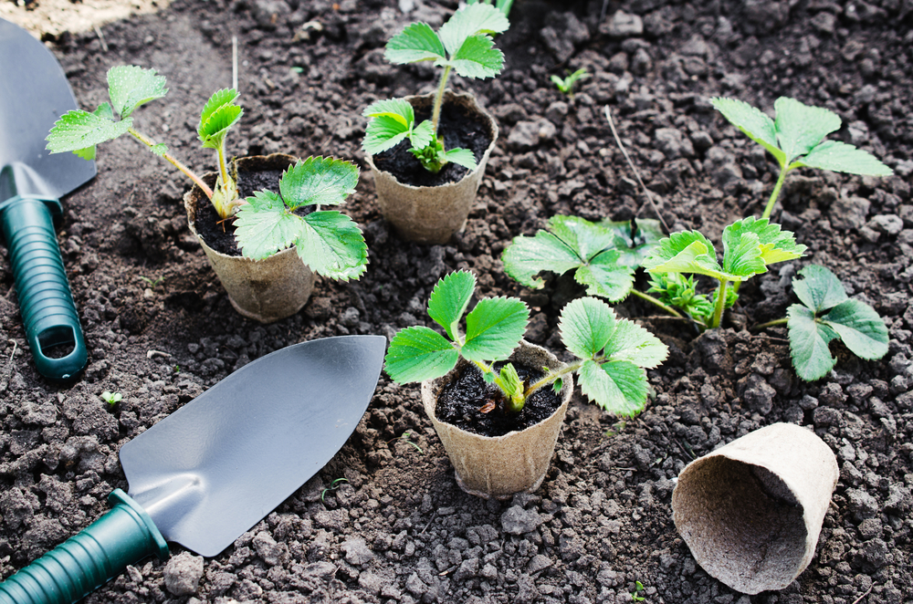 Garden trowel and your strawberry plants, ready for planting in the garden.