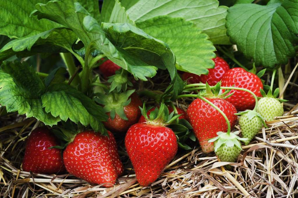 Red strawberries on a strawberry plant surrounded by mulch