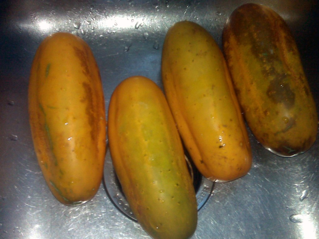 Orange-skinned mature cucumbers in a sink.