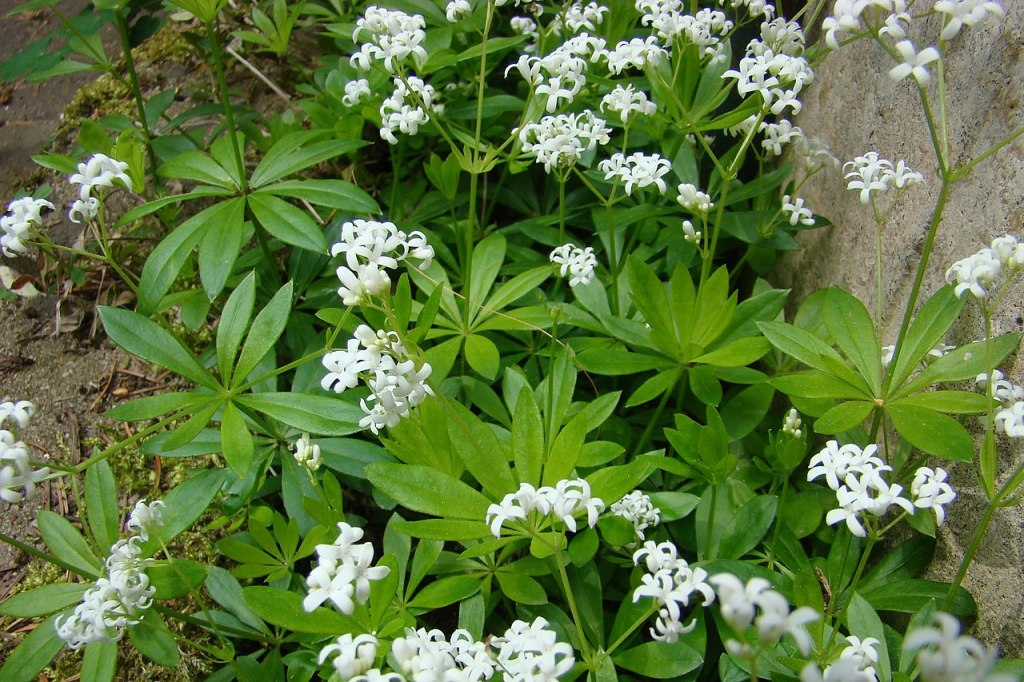 Clump of sweet woodruff with white flowers and green leaves.