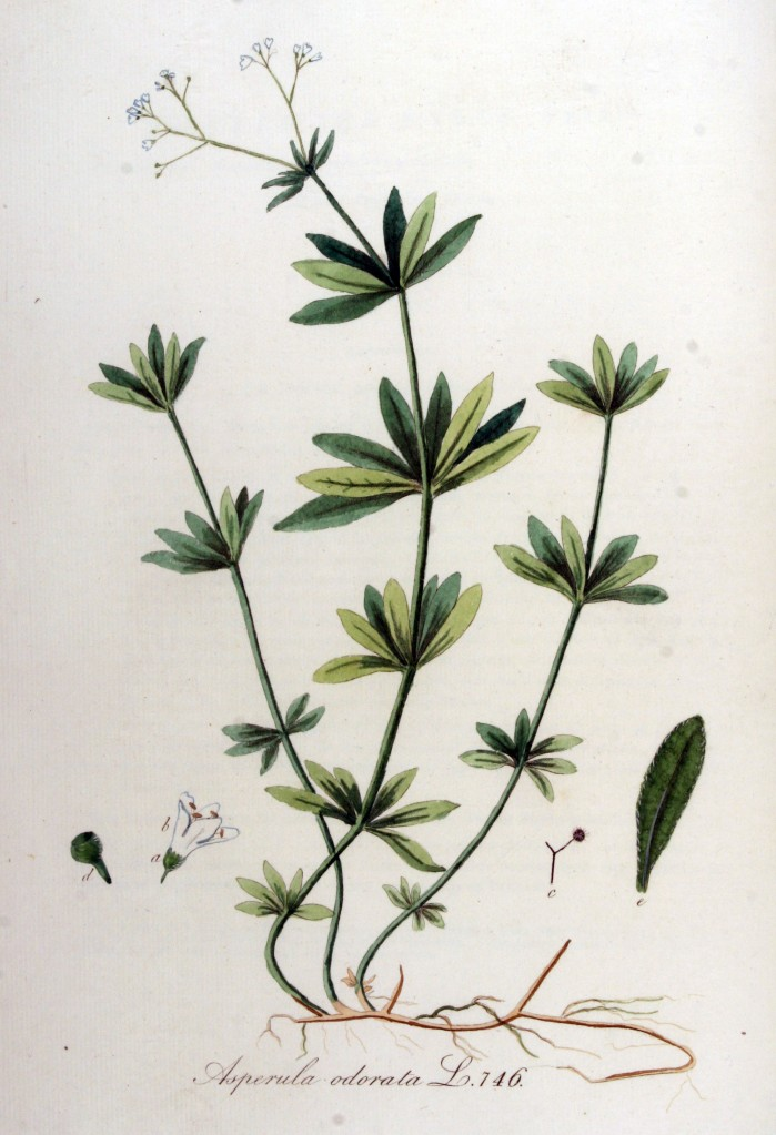 Botanical illustration of sweet woodruff showing various plant parts.
