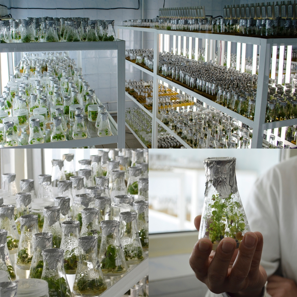 Tissue culture laboratory (4 photos) showing plants in glass beakers.