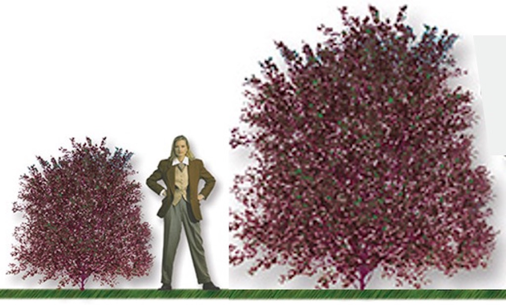 Drawing comparing given height of diabolo nine bark with its true height, with woman's figure as a comparison.