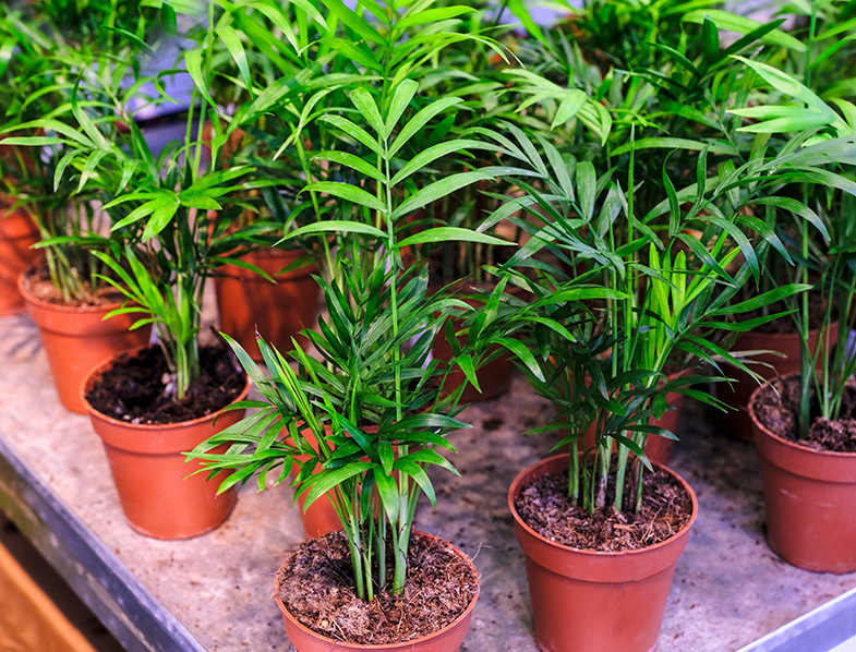 Orange brown plastic pots containing clusters of parlor palm seedlings with tiny narrow green fronds.
