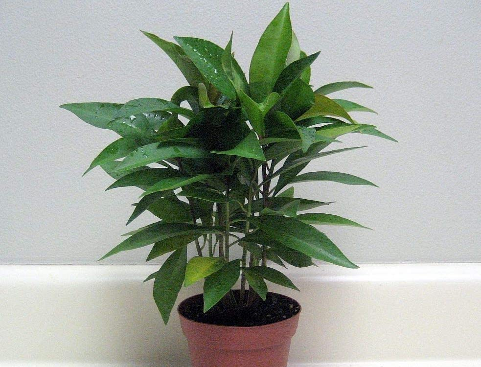 Cluster of seedlings of ardisia with narrow green pointed leaves in a orange brown pot.
