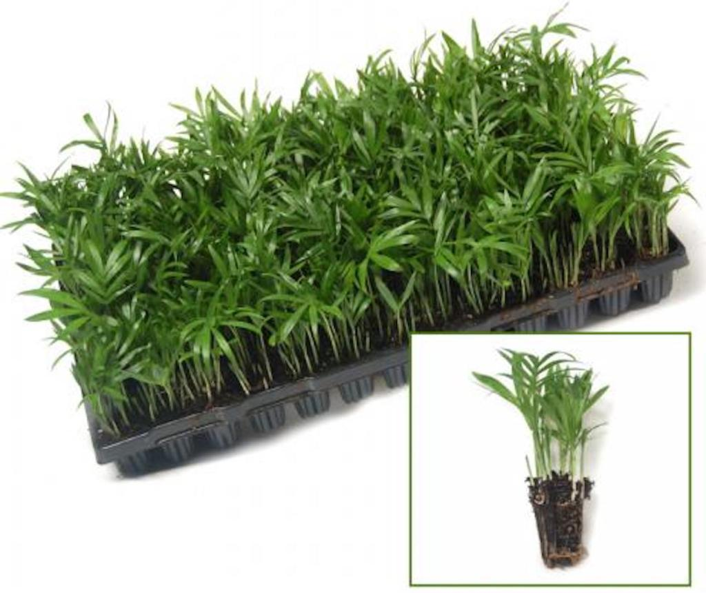Plug tray of parlor palm seedlings. Insert shows individual clump of small green seedlings.