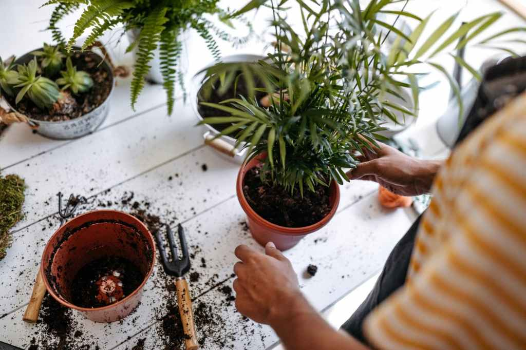 Repotting a parlor palm clump into a larger pot. Small tools and soil are next to pot. Hands next to pot.