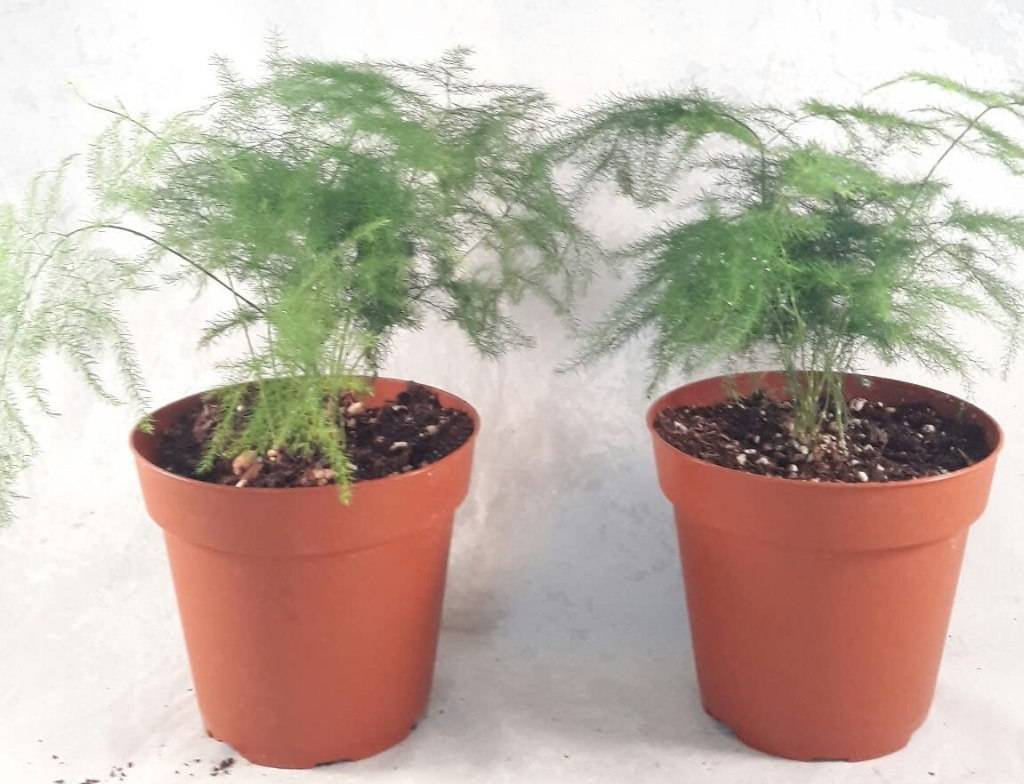 Two pots of young asparagus ferns with green fine arching fronds in orange brown plastic pots.